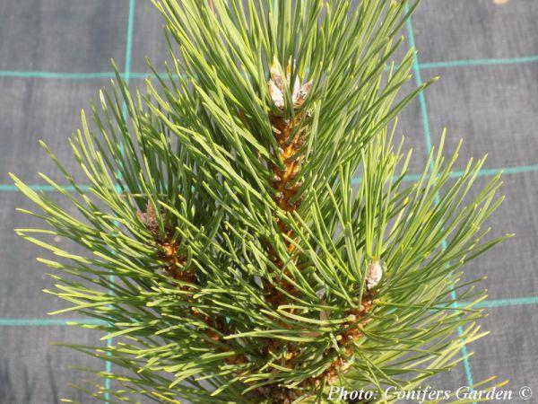 Pinus nigra 'Fastigiata'
