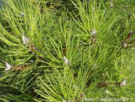 Pinus nigra 'Karaca Ball'