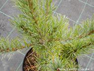 Pinus parviflora 'Glauca'