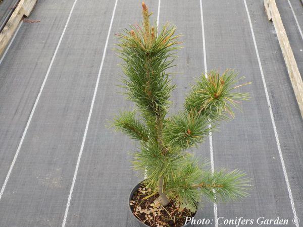 Pinus parviflora Korea