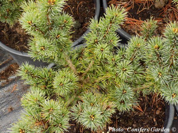 Pinus parviflora `Nellie D'