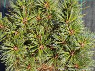 Pinus strobus 'Kruger's Lilliput'