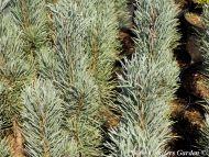 Pinus sylvestris 'Fastigiata'