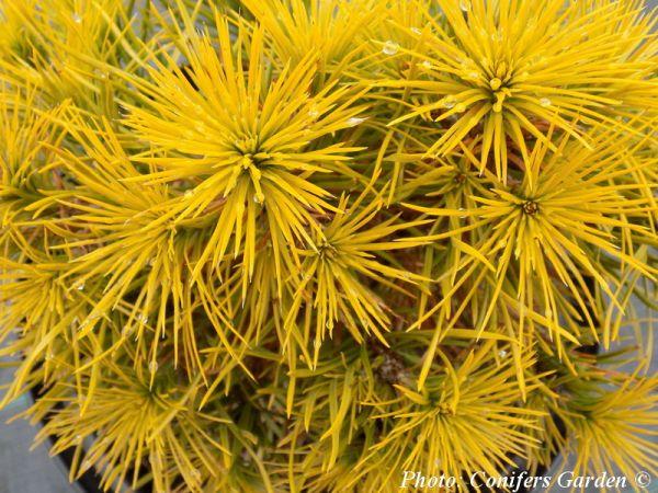 Pinus sylvestris 'Isaszeg'