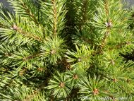 Pinus sylvestris 'Kelpie'