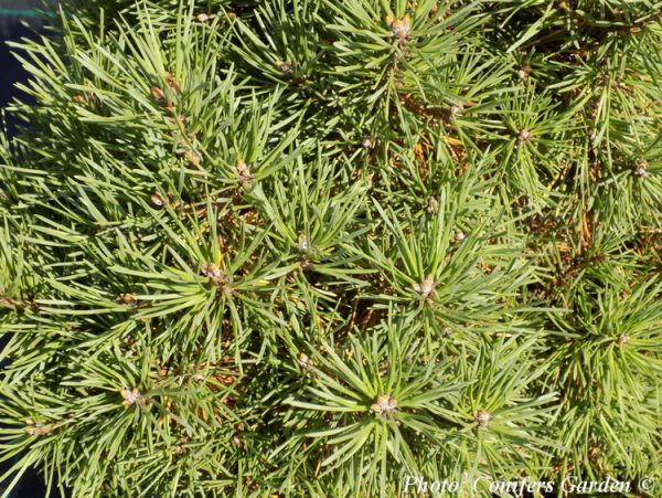 Pinus sylvestris 'Rita'