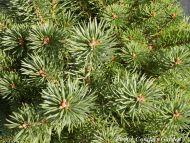 Pinus sylvestris 'Saxatilis'