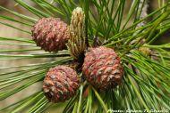 Pinus taiwanensis