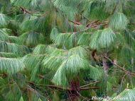 Pinus tecunumanii