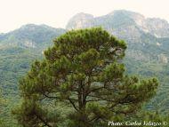 Pinus teocote