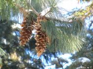 Pinus x holfordiana