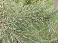 Pinus x murraybanksiana