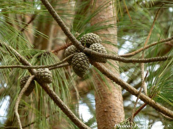Pinus yunnanensis