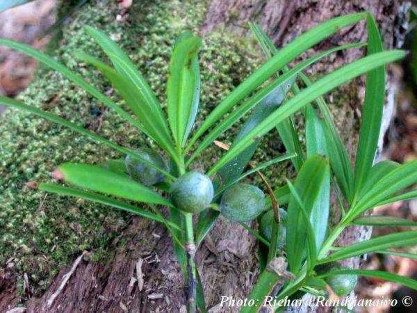 Podocarpus madagascariensis