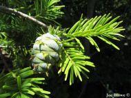 Pseudotsuga sinensis