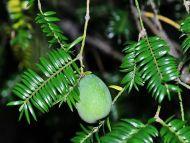 Torreya fargesii var. yunnanensis