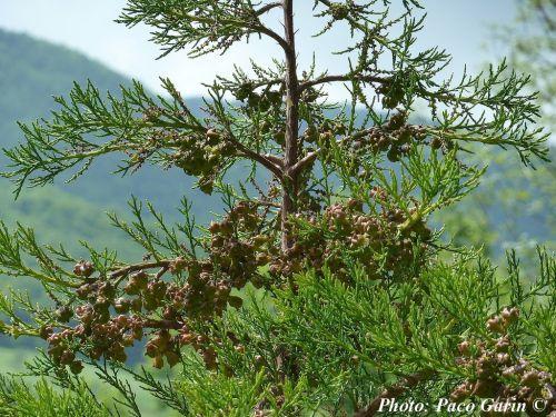 Widdringtonia schwarzii