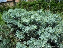 Abies concolor 'Globosa'