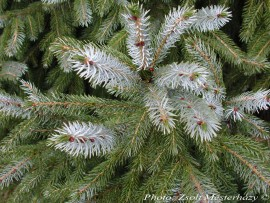 Picea brachytyla