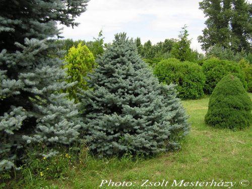 Picea pungens 'Barabits Blue'