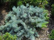 Picea pungens 'Horizontalis Glauca'