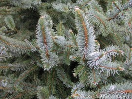 Picea sitchensis 'Foxtail'