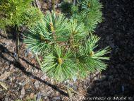 Pinus flexilis 'Navajo'