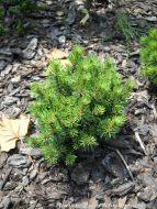 Pinus mugo 'Bozi Dar'