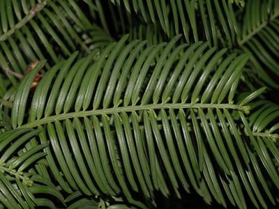 Cephalotaxus